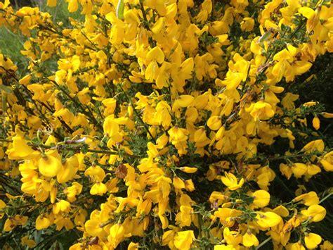 bush yellow flowers in bush identification yellow blooms snaplant com