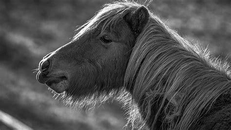 keren  gambar hitam putih kuda poni gani gambar