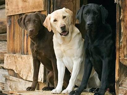 Retriever Labrador Wallpapers