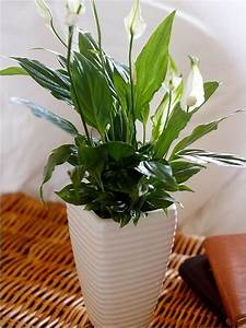17 best images about indoor plants on pinterest With peace lily in bathroom