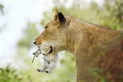 Lion Cub Africa Rare South Wild Animal