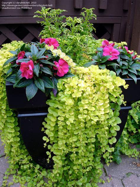 big flower pot arrangements plantfiles pictures creeping jenny moneywort goldilocks lysimachia nummularia by darylmitchell