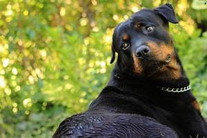 neck chain, green, Rottweiler - Dogs wallpapers: 2560x1706