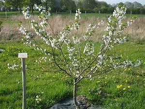 Planter Un Cerisier : planter un cerisier comment planter un cerisier avant l ~ Melissatoandfro.com Idées de Décoration