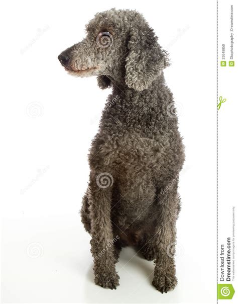 Standard Poodle Grey Stock P O Image Of Grey Poodle