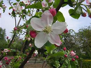 Michigan State Flower  Apple Blossoms