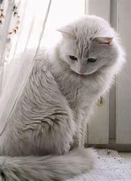 Gorgeous White Cat