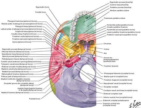 Skull Anatomy Diagram