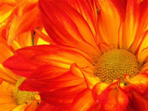 planting chrysanthemums in the fall how to grow mums hgtv