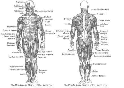 Broadly considered, human muscle—like the muscles of all vertebrates—is often divided into skeletal muscles are named based on many different factors, including their location, origin and. color pages muscles skeletal muscles | ... muscles in the human body skeletal cardiac and smooth ...