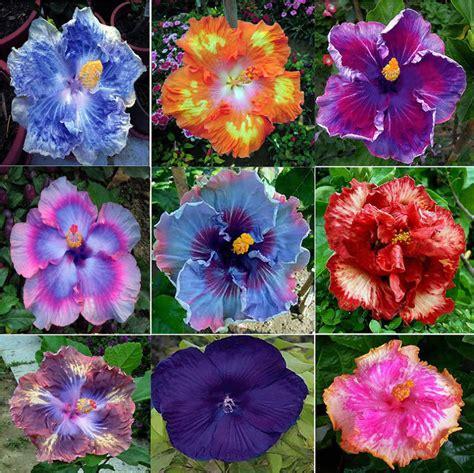 100 pcs dinnerplate hibiscus seeds perennial flowers ebay