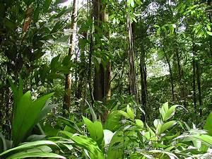 Amazon Jungles | amazon rainforest trees the most big ...