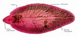 Fasciola hepatica; Liver Fluke