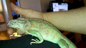 Green iguana blue diamond - YouTube