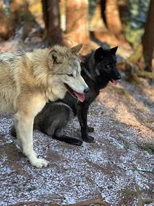 Wolf Encounters, Wildlife Education, Predators of the Heart