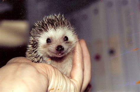 Tipsy The Smiling Hedgehog!