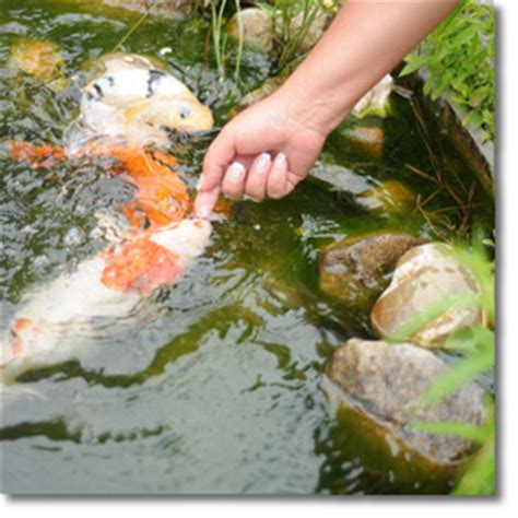 graskarpfen im gartenteich graskarpfen im gartenteich koi goldfische graskarpfen