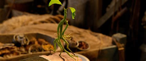 bowtruckles pottermore