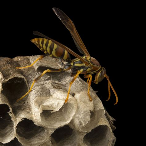 wasps national geographic