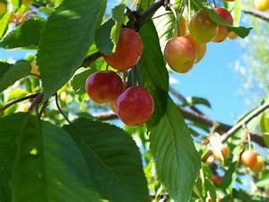 Arbre A Fruit : images gratuites branche fruit fleur t aliments vert rouge produire jardin en bonne ~ Melissatoandfro.com Idées de Décoration