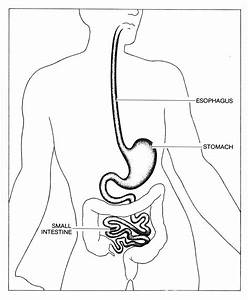 File Esophagus  Stomach  Small Intestine Jpg