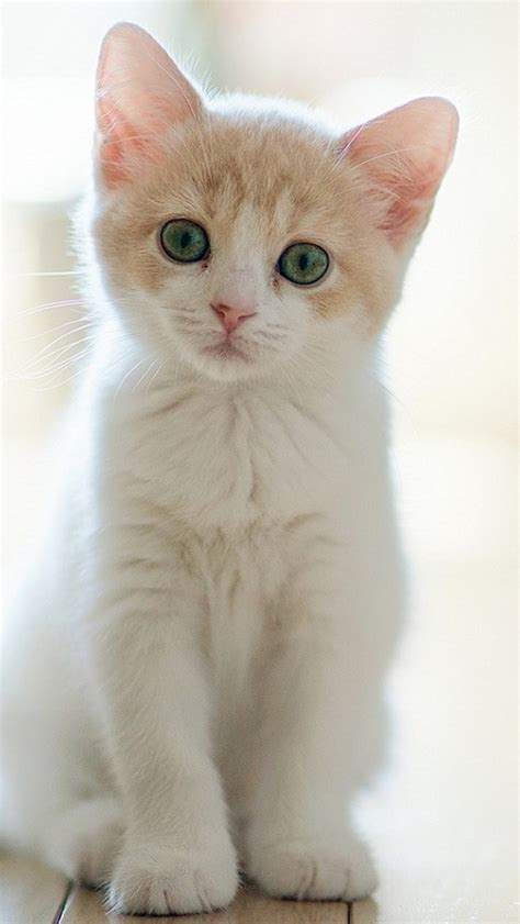 Background Home Screen Wallpaper Cat by Lovely Staring Kitten Cat Iphone 5 Wallpaper Iphone