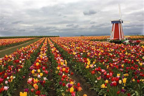 tulip farms in usa wooden shoe tulip farm oregon usa earthporn pinterest