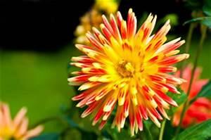 Dahlien Wann Pflanzen : zwiebelblumen arten sorten pflanzen pflege und d ngen ~ Frokenaadalensverden.com Haus und Dekorationen