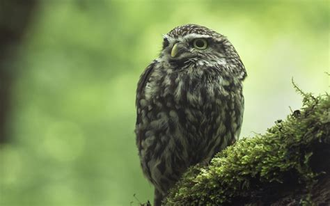 Owl Wallpaper by Owl Wallpapers Best Wallpapers
