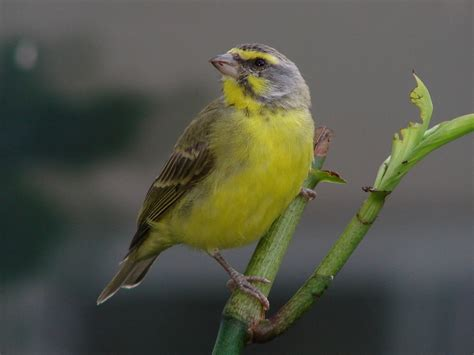 green singing finch serinus mozambicus is native to most