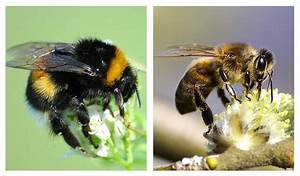 Bumblebee vs Honey Bee - How to Tell Them Apart