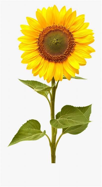 Sunflower Sunflowers Clipart Transparent Cartoon Netclipart Mason