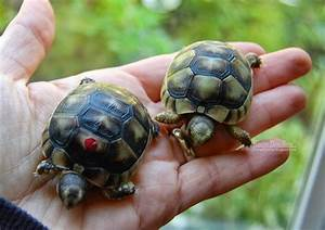 Tortaddiction: *cough* more baby tortoises ?! *cough*
