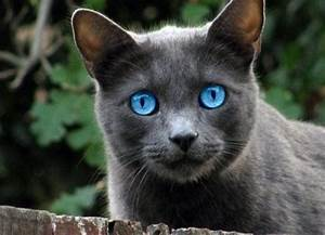 Image - Grey-cat-breeds-with-blue-eyes.jpg | Darkstripe's ...