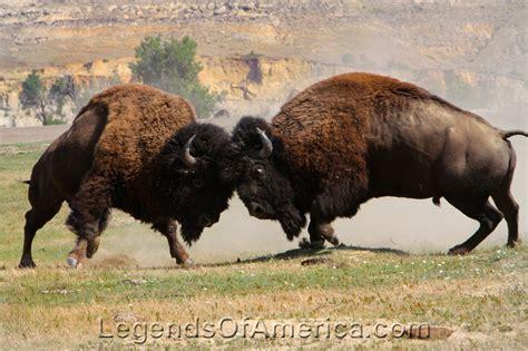 legends  america photo prints buffalo bison