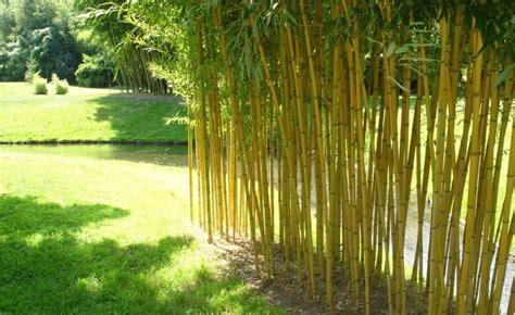Bambus Garten Pflanzen Kölle by Bambus Bambus Bambus Pflanzen Bambus Und Garten Pflanzen