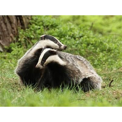 European badger — Park Hoge Veluwe
