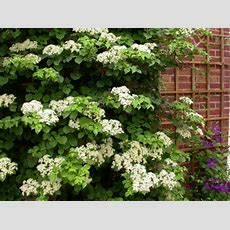 Vines For Shade  Horticulture Talk
