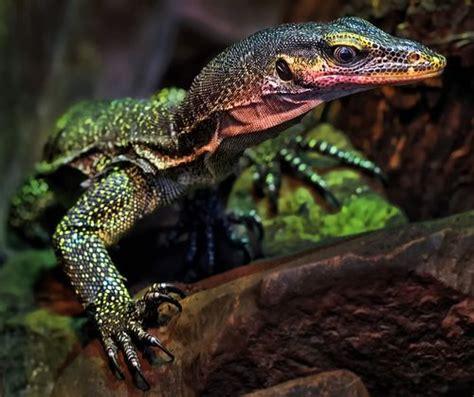 monitor lizard ideas  pinterest pet lizards