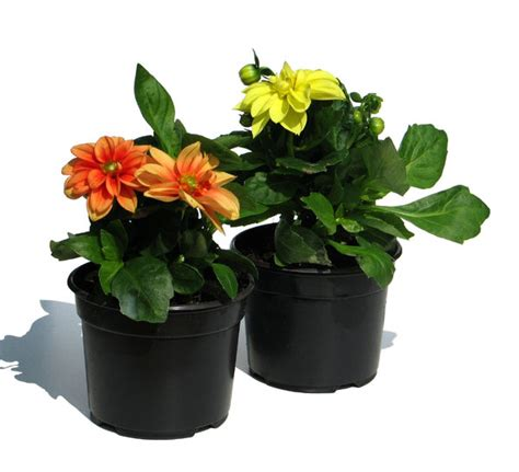 plant dahlias in pots free stock photos rgbstock free stock images dahlias in a pot lusi april 19 2010 75