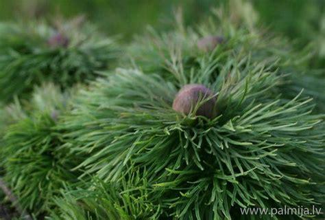 Diļļu peonija (Paeonia tenuifolia)