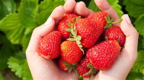 erdbeeren pflanzen balkon erdbeeren auf balkon pflanzen
