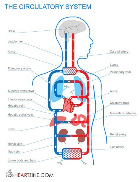 blood circulation system  human body circulatory system
