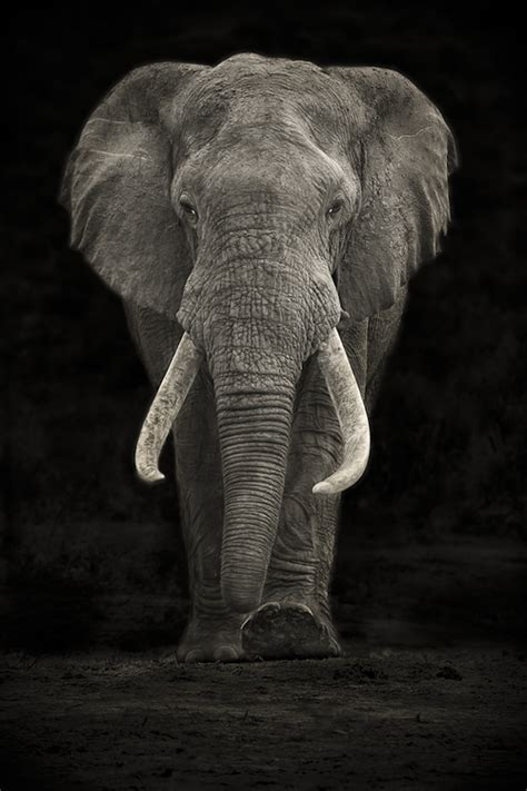 amazing elephant portrait content   cottage