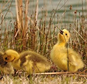 818 best images about Fluffy Ducks on Pinterest | Baby ...