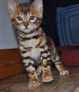 bengal cats for bengal kittens for cats