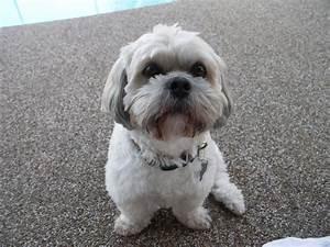 File:Small white dog sitting.jpg - Wikimedia Commons