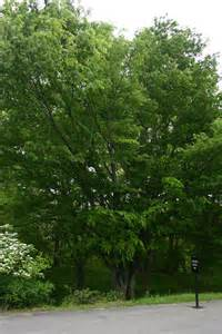 Zelkova Serrata Green Vase Tree