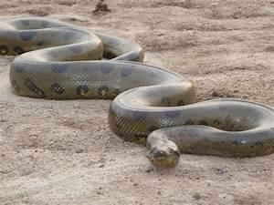AMAZING AND INTERESTING FACTS BLOG : Green Anaconda Snake ...