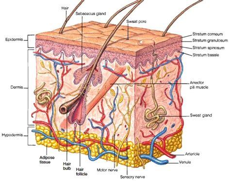 skin structure of the skin human anatomy pinterest